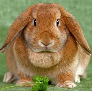 Правильное питание для декоративных кроликов