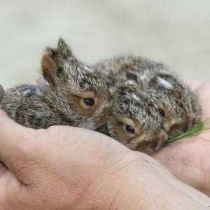Беременность у крольчихи – рекомендации по уходу