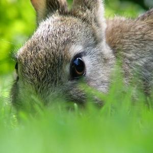 Блохи у декоративных кроликов. Что делать?