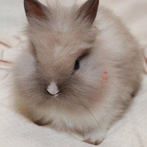 Кролики: карликовые vs декоративные