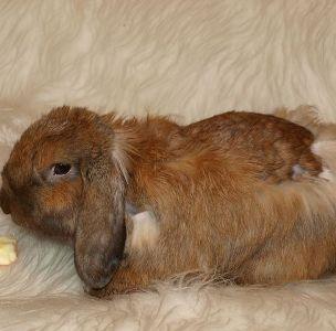 Как линяют карликовые кролики? Содержание в период линьки