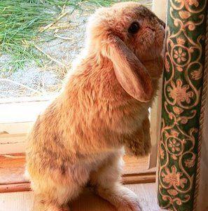 Половое созревание кроликов – распознаем и справляемся